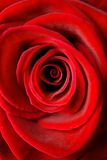 Red Rose. Close-up of a beautiful red rose Stock Image