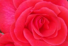 Red Rose. Beautiful Red Rose Stock Image