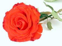 A red rose. And a love letter against white background stock photo