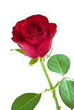 Red rose. Isolated on a white background Royalty Free Stock Images