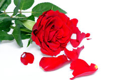 Red rose Stock Photos