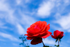 Red rose Stock Images