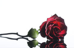 Free Red Rose Stock Photos - 16486853