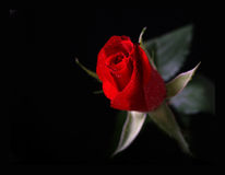 Red Rose. Red single rose on black with drops of water Royalty Free Stock Photography