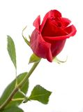 Red rose. Isolated on white background stock images