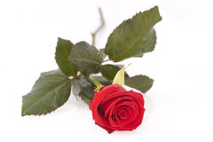 Red rose. On a white background Stock Photo
