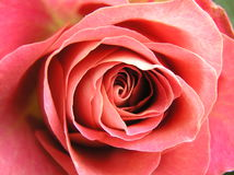 Red rose. Macro shot of the heart of a very beautiful pale red rose Stock Images