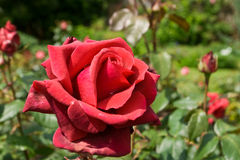 Red Rose. This is a picture of a red rose Stock Photography