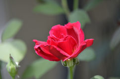 Red Rose. Against blurred background Royalty Free Stock Image
