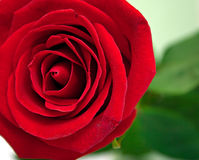Red rose 2 Royalty Free Stock Photos