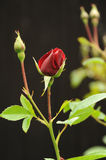 Red rose. Photograph of a red rose shot using natural light with a dark background behind Royalty Free Stock Images