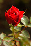 Red Rose. Red Rose in garden at Chiangmai, Thailand Royalty Free Stock Photography