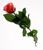 Red rose. Photo of beautiful red rose Stock Images