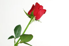 Red rose. A red rose on a white background Royalty Free Stock Image