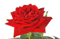 Red Rose. Over a white Background Stock Images
