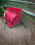 Red Rose. On old wooden plank Royalty Free Stock Images