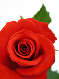 Red Rose. On white Royalty Free Stock Photo