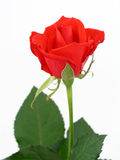 Red Rose. Isolated Royalty Free Stock Images