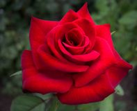 Red rose. Stuning red rose up-close Royalty Free Stock Photos