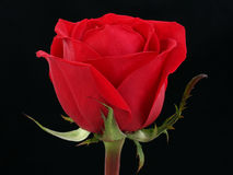 Red Rose. Single red rose over black background. Shot in studio Stock Photography
