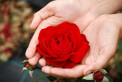 Red rose. Closeup of a girl's hands holding red rose royalty free stock photos