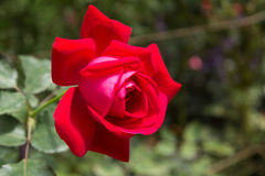 Red rose. Deep red rose flower plant in garden Stock Photography