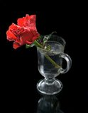 Red rose. S with drops in glass  on a dark background stock image