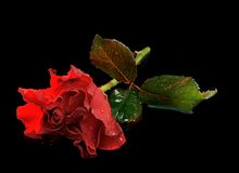 Red rose. A Single Red Rose isolated on a black background Royalty Free Stock Images