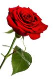 Red rose. Single red rose, isolated on a white background Royalty Free Stock Photo