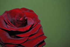 Red rose. Attribute of love and desire.flower with a velvet ebb.Survey by CU.Fresh spring photo.A pleasant color combines with contrasting tints Royalty Free Stock Photography
