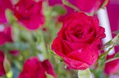 Free Red Rose Royalty Free Stock Photos - 31006428