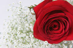 Red rose. With baby breath royalty free stock photo