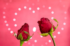 Red Rose. Twin red rose on heart bokeh background Royalty Free Stock Photos
