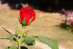 Red rose. In Botanic Garden Chiang Mai,Thailand Royalty Free Stock Photos