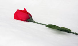 Red Rose. Laying in snow Stock Image