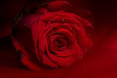 Free Red Rose Stock Photography - 4238542