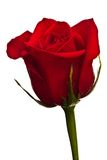 Red rose. Close-up of red rose on white background royalty free stock photo