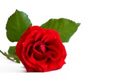 Red Rose. Lay down red rose isolated on white Royalty Free Stock Image