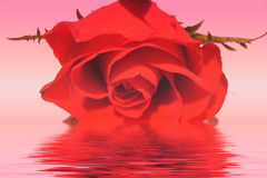 Red rose. With water effect in pink background royalty free stock photos