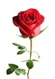Red rose. Beautiful red rose on a white background Royalty Free Stock Images