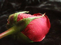 Red Rose. Feeling and love. red rose Stock Image