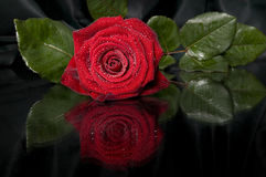 Red rose. Stock Photography