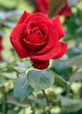 Red rose. Scarlet rose-classical a declaration of love and tendernesses Stock Image