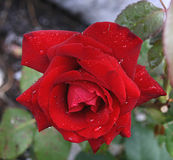 Red rose. Rose with drops in garden Royalty Free Stock Photography