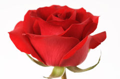 Red rose. In white background Royalty Free Stock Photography
