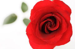 Red rose. Close up of a red rose in a white background Royalty Free Stock Photos