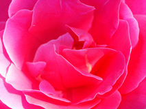 Red rose. Big red rose Stock Photo