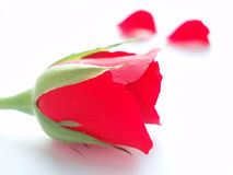 Red rose. On white background. The symbol of love Stock Photos