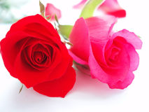Red rose. On white background. The symbol of love Stock Images