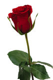 Red rose. Single red rose on a white background Stock Images